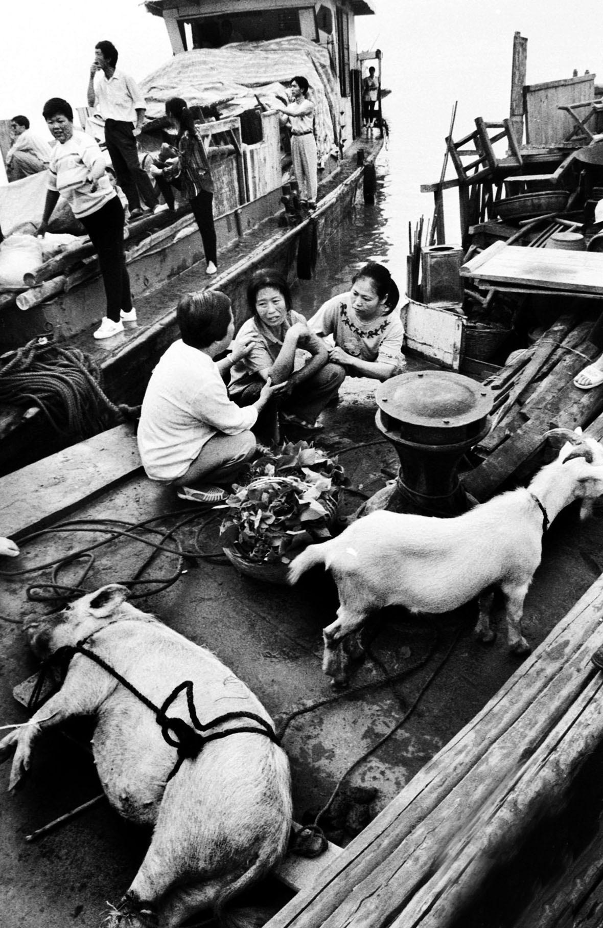 很多當地的村民將家中最值錢牲口運到船上,一同離開故鄉。