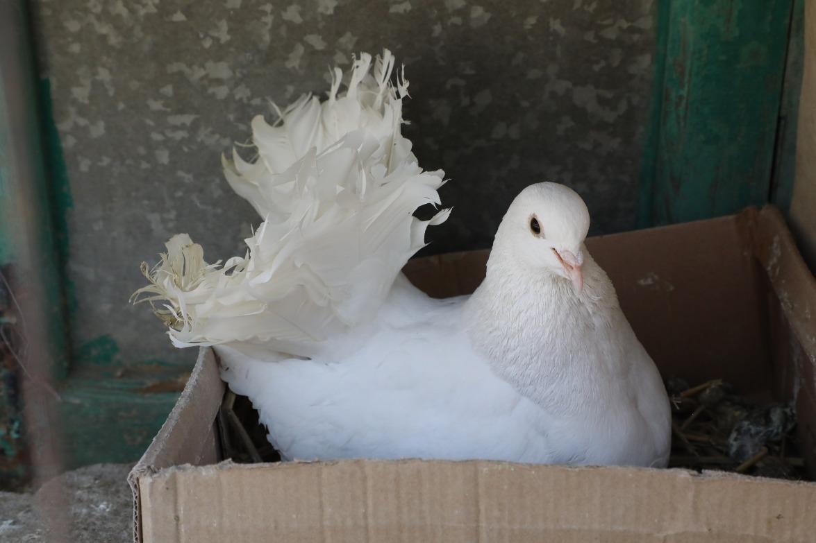 當代中國-潮遊生活-百味中國-石岐乳鴿