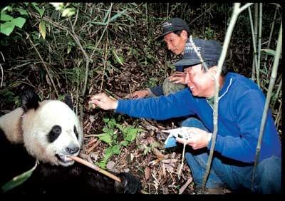 潘文石早於80年代便在四川山區保育熊貓。(網上圖片)