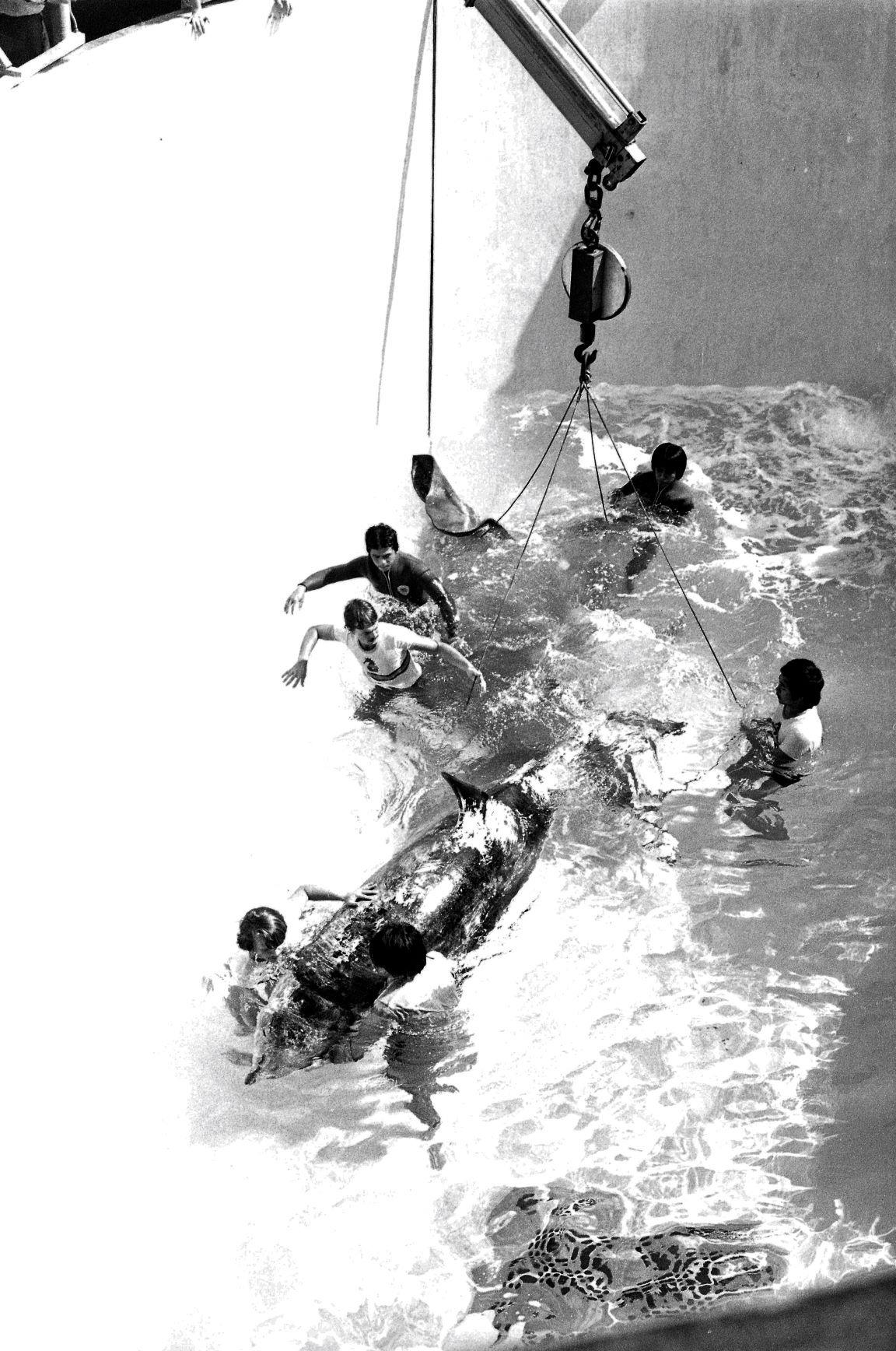 很多去過海洋公園的人,都對殺人鯨凌空飛身頂球的表演記憶猶新,不過自從1997年殺人鯨「海威」因急性腸出血去世,海洋公園就沒有將引入殺人鯨。圖為1979年公園引入一頭英國殺人鯨的情況。(圖片來源:Getty)
