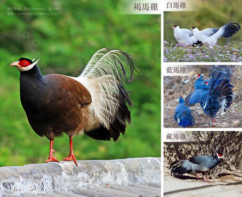 圖說:當代中國-數字中國-褐馬雞
