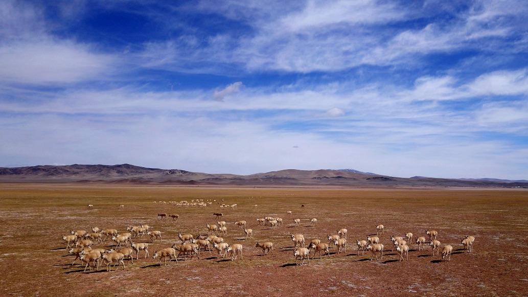 當代中國-瀕危動物-藏羚羊