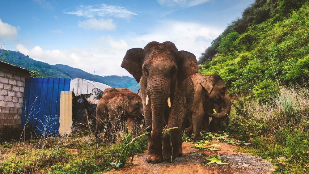 當代中國-雲南象遷徙