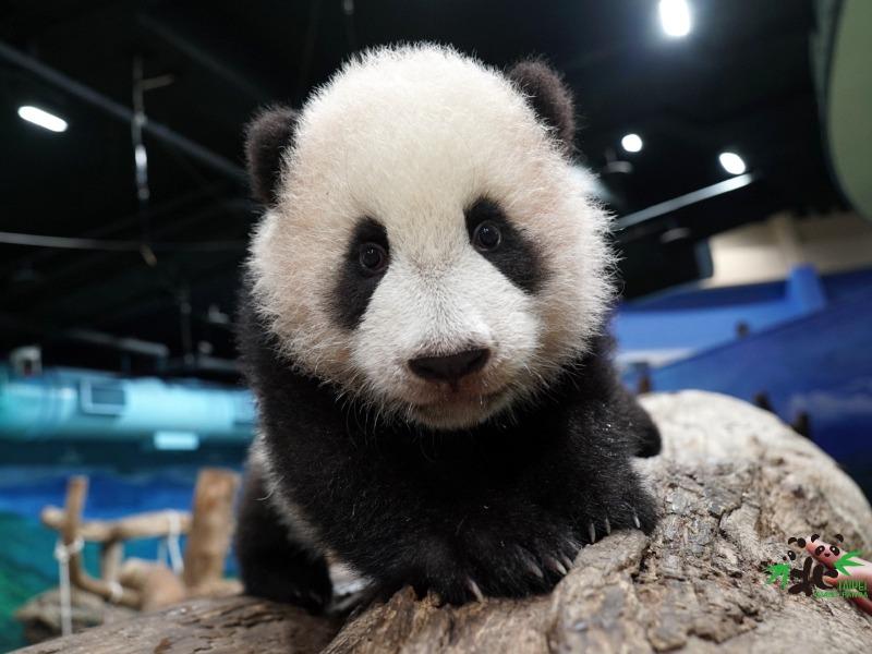 圖為「圓寶」半歲時的情況,動物園為安排她與公眾首次會面,替她做足準備,適應場地。(圖片來源:台北市立動物園)