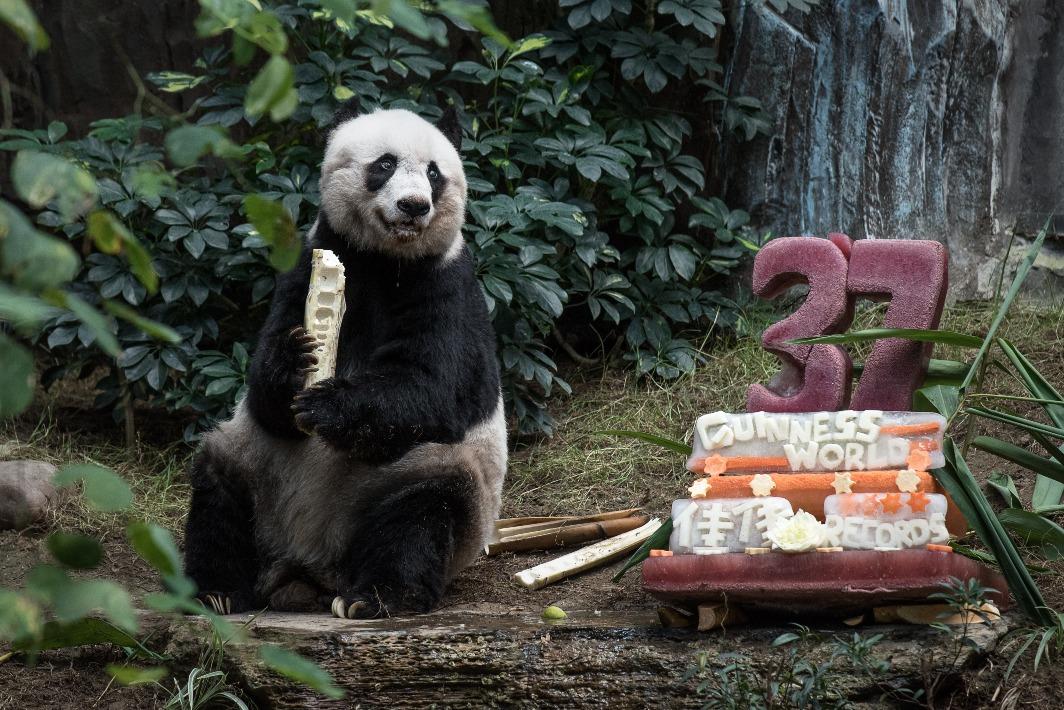 香港的「佳佳」2015年打破兩項健力士世界紀錄,成為「迄今為止最長壽的圈養大熊貓」及「最長壽的在世圈養大熊貓」,2016年以38歲高齡離世,相當於人類114歲。圖片攝於牠的37歲生日。(圖片來源:Getty)