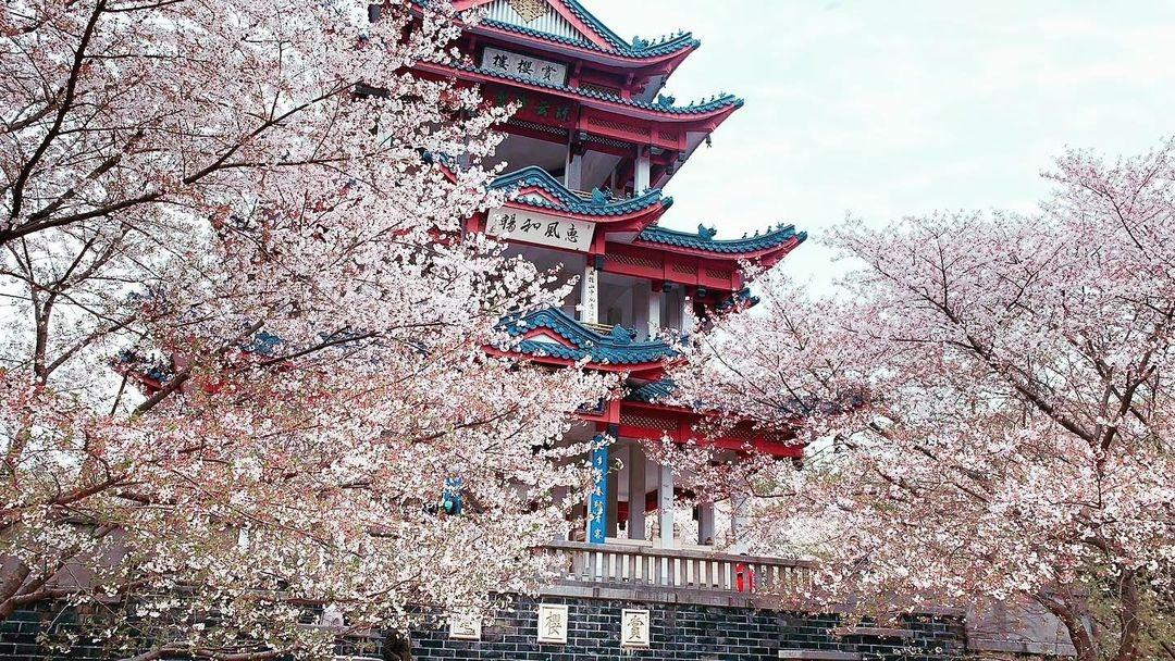 當代中國-中國旅遊-中國文化-江蘇-無錫-櫻花-中日關係-1