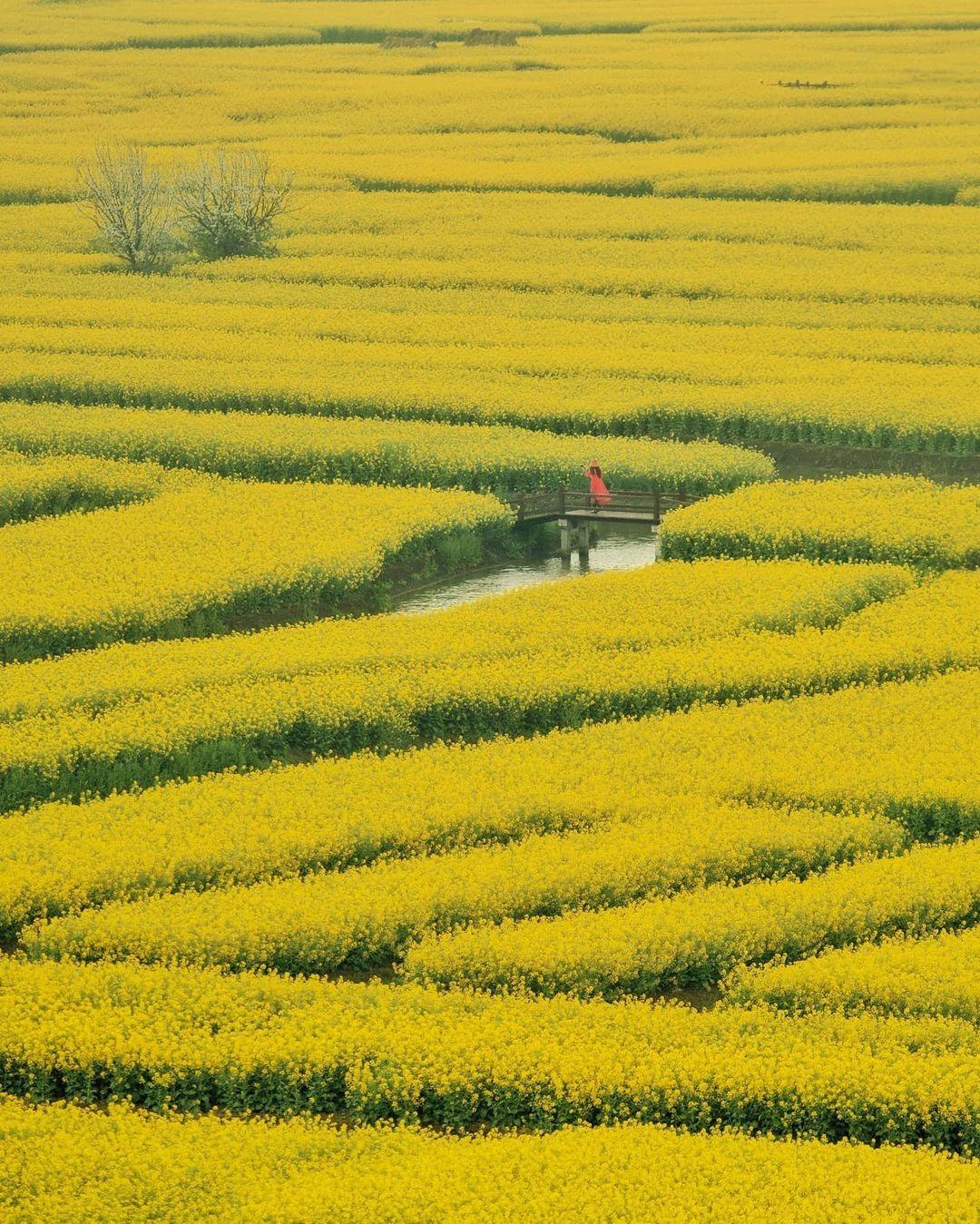 當代中國-中國旅遊-中國文化-江蘇旅遊-花海-中國農業-興化垛田-2