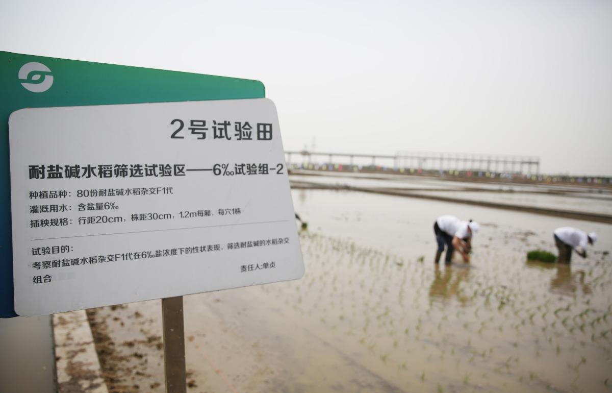 當代中國-中國新聞-海水稻1