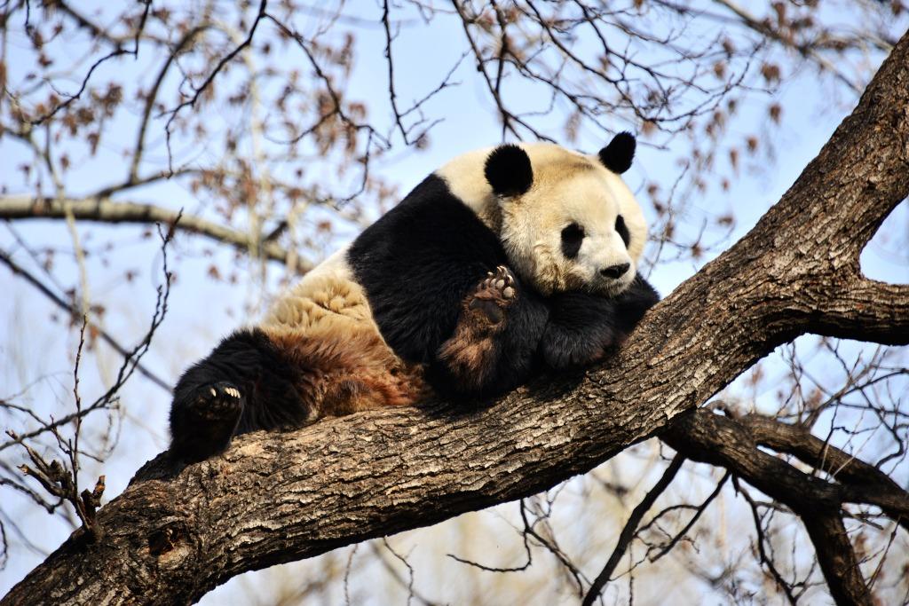 當代中國-中國新聞-熊貓博物館4