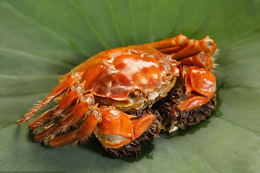 肥美的中華絨鰲蟹是崇明有名海產,現在國內大部分的鰲蟹是為人工養殖,環境有嚴謹監控,可安全食用。