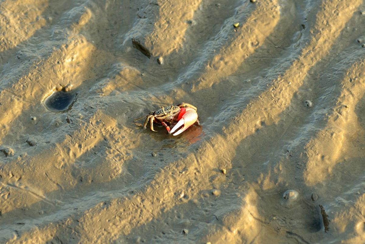 可愛的弧邊招潮蟹和短指和尚蟹是高美濕地裏面的甲殻生物。