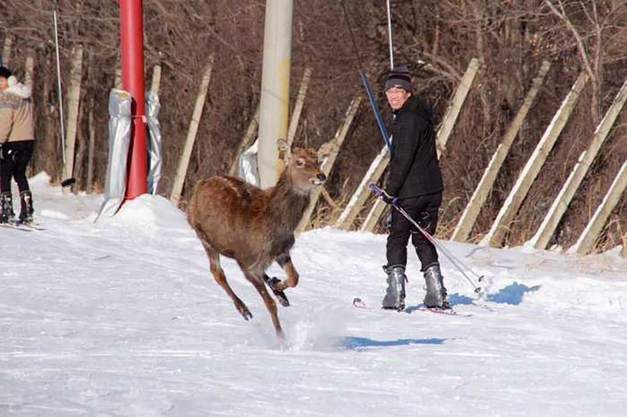 除了滑雪之外,可以近距離同雪場內的鹿接觸!