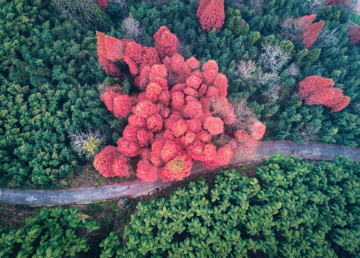 莫干山竹林里红色的水杉是區內地標之一