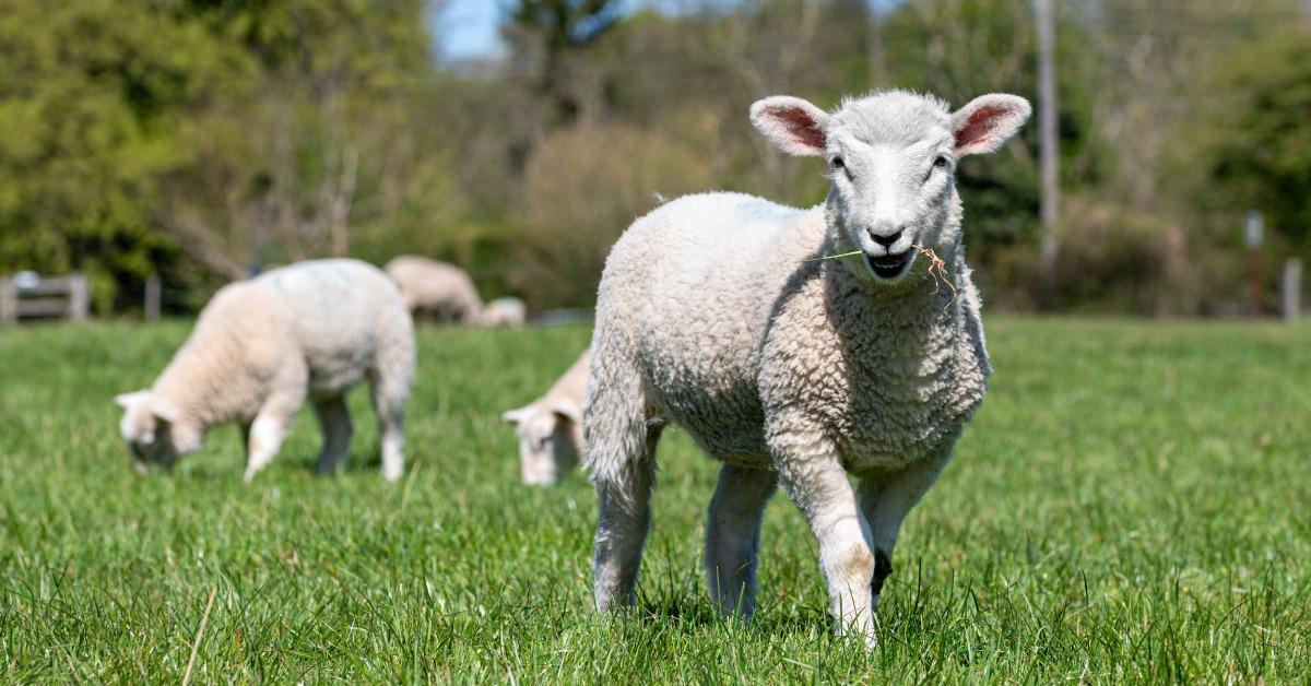 當代中國-當年今日-轉基因羊