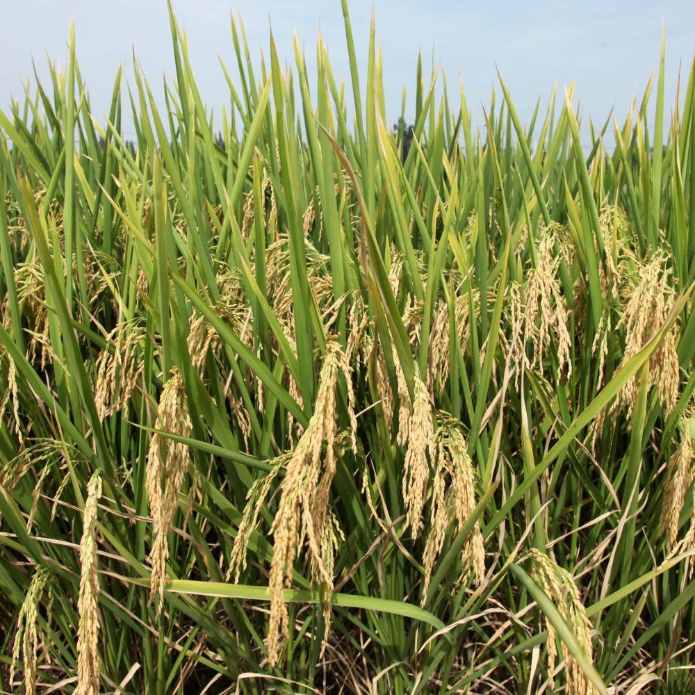 當代中國-當年今日-轉基因水稻