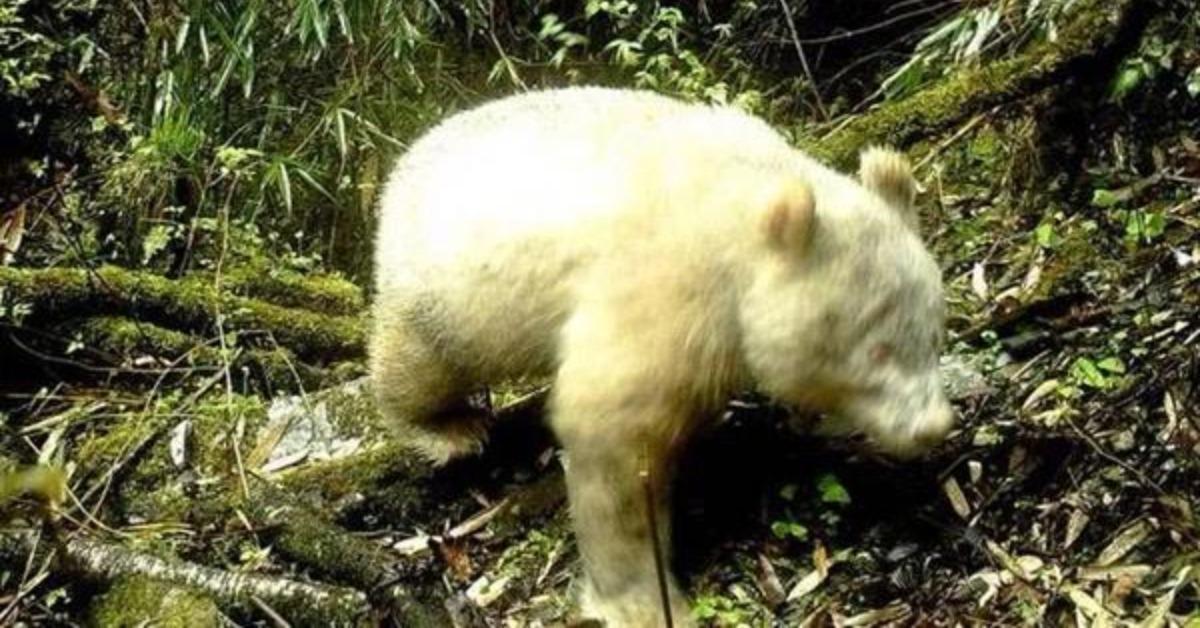 當代中國-當年今日-「白化」大熊貓